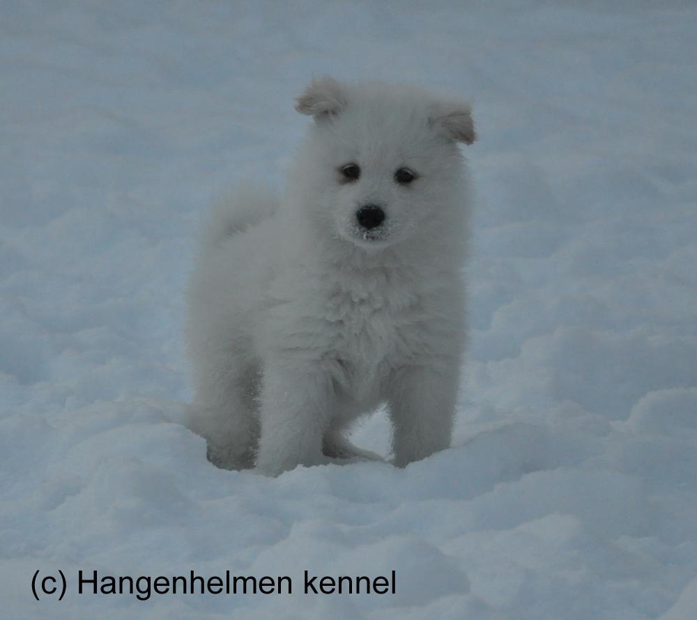 "Hohtava Hanki ""Olaf"""